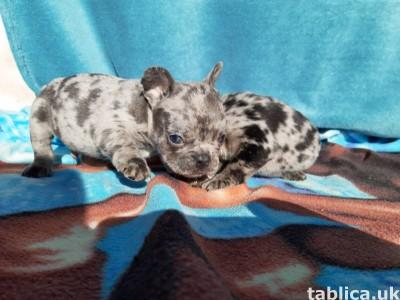 Bulldog francuski szczeniaki