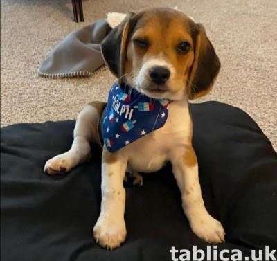Tri Colored Beagles Szczenięta teraz