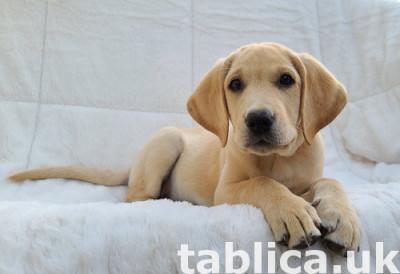 Uroczy znakomite szczeniaki Labrador Retriever