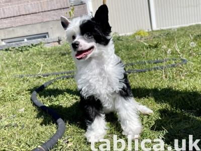 12 tygodni chiński psa czubaty