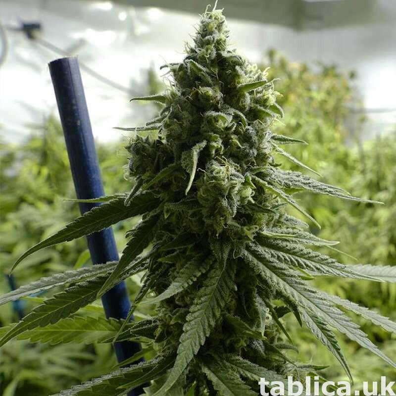 medyczny.. ketamin... oxcodine..weed.. cannabis 0
